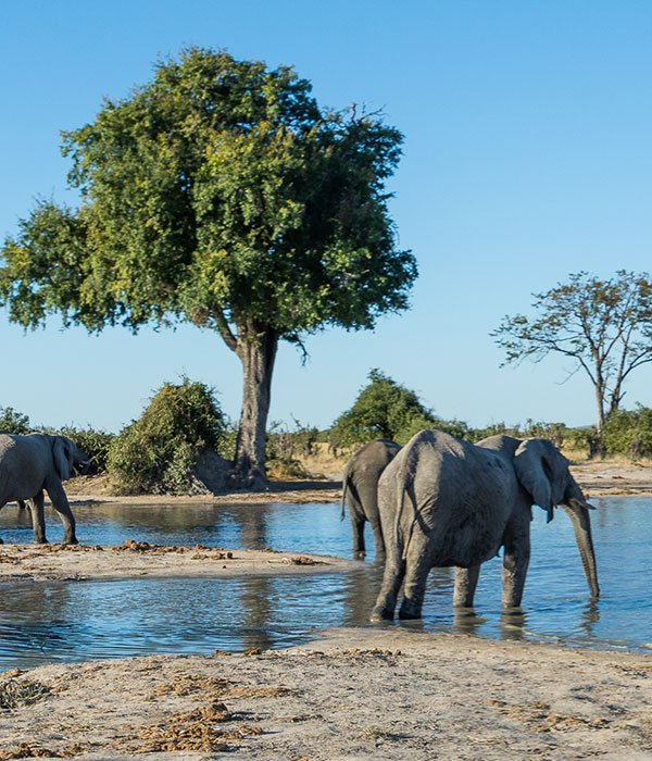 elephants at a watering hole in botswana