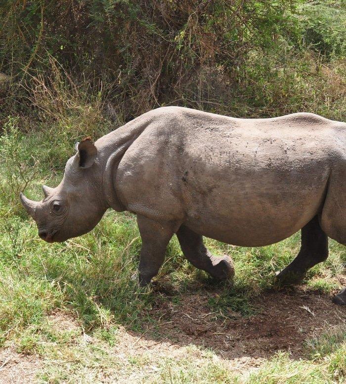 Foster Orphaned Elephants or Rhinos 6