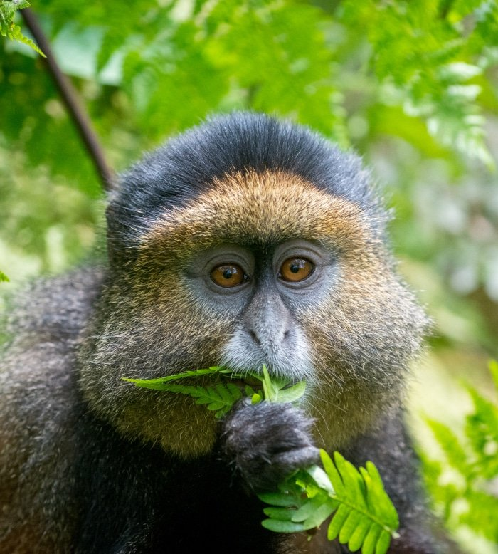 Golden Monkey Trekking 4