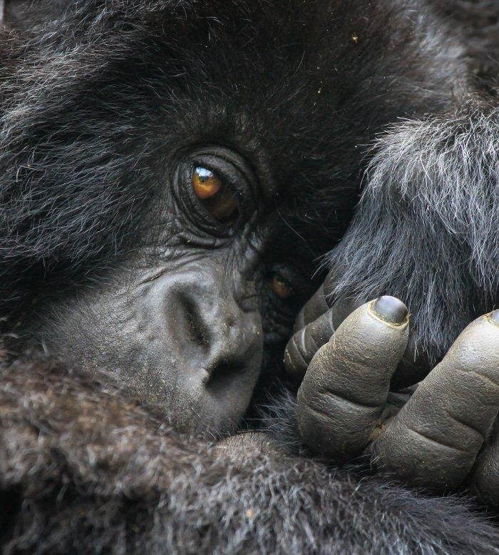 Mountain Gorilla Tracking 4