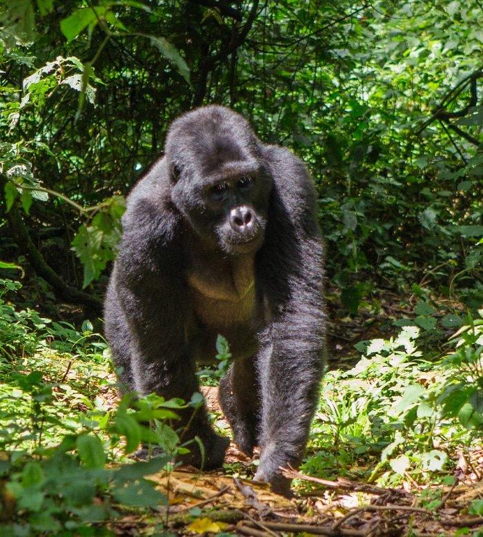 Tracking Mountain Gorillas In Uganda 2