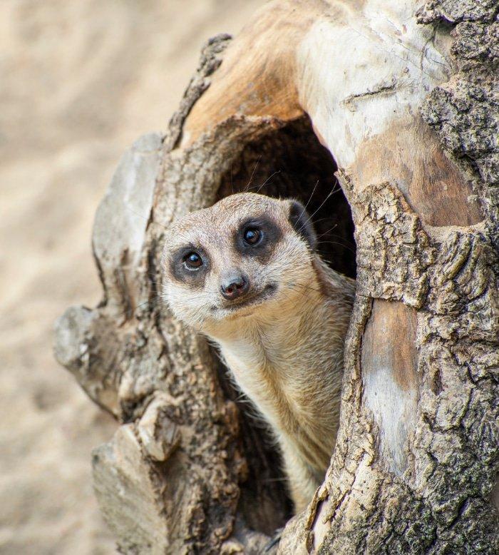 Meerkat Safari 4