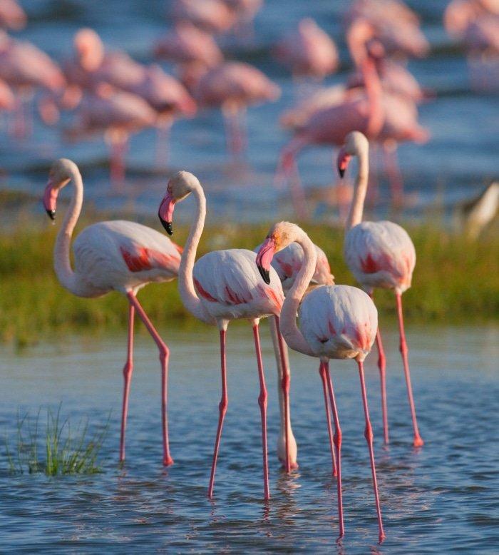 Pink Flamingos on Lake Nakuru 1