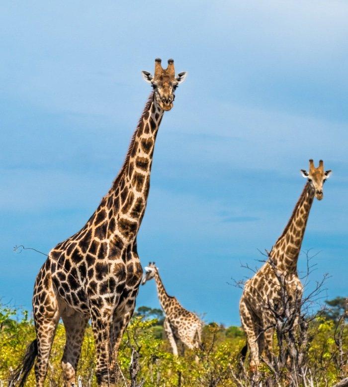 Botswana Safari 4