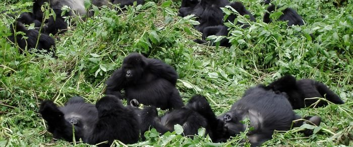 Gorillas & The Meaning of Happiness 3