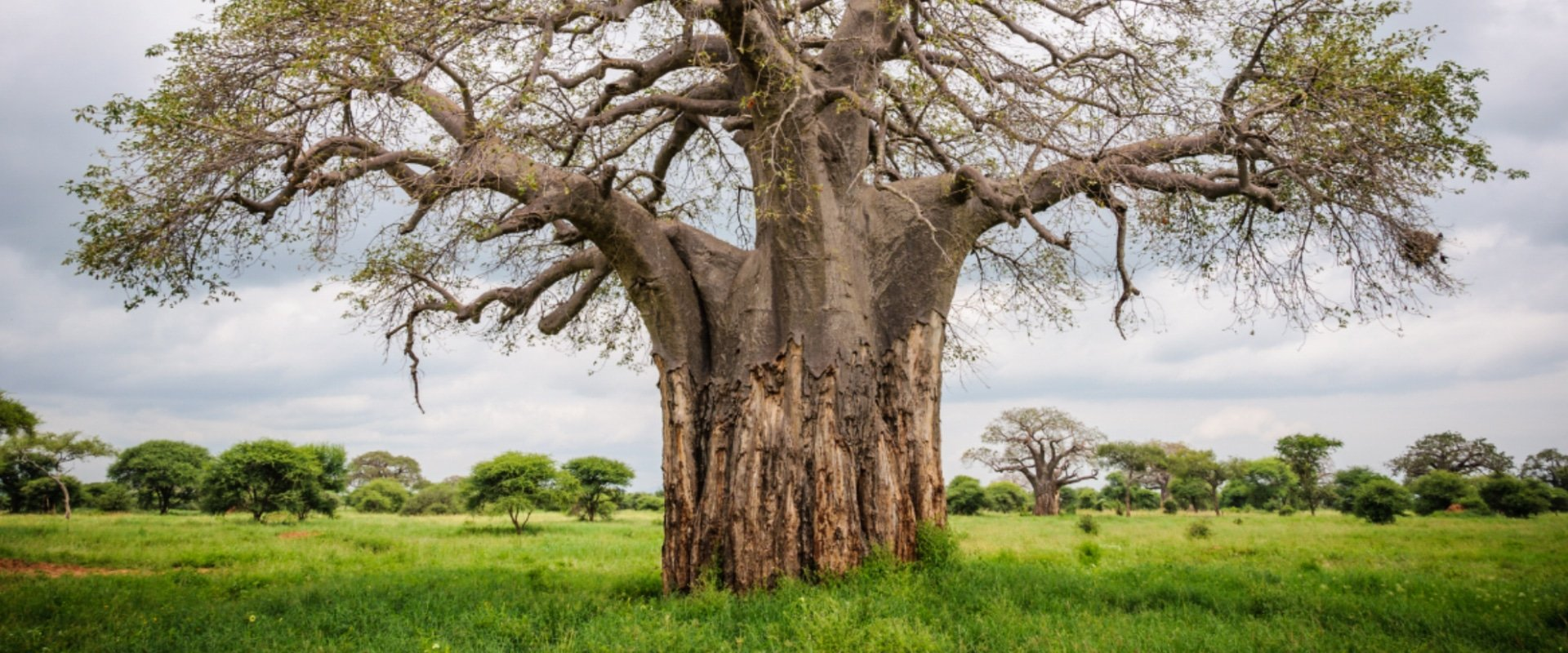 Photograph scenic landscapes with magnificent Baobab trees