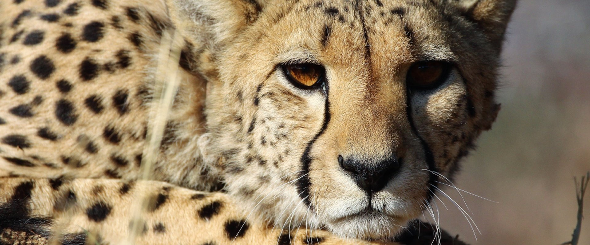 Observe Africa's big cats up close
