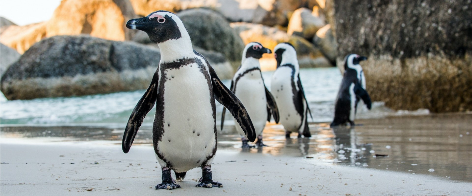 Delight in the quirky nature of the African Penguin colony