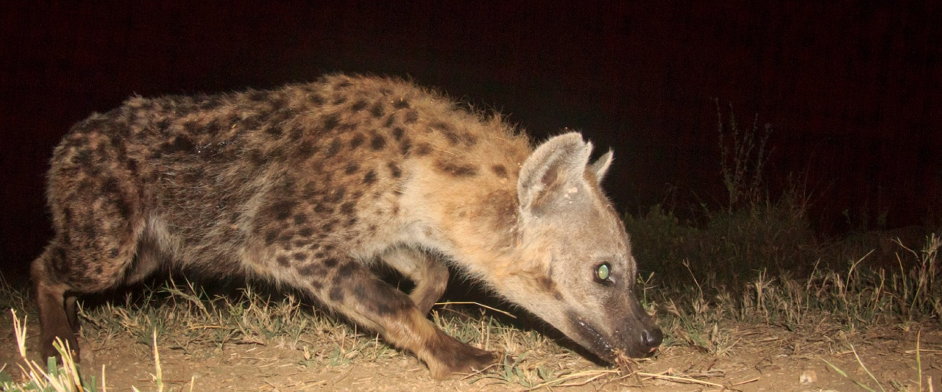 Visit a nocturnal hide to spot Brown Hyenas