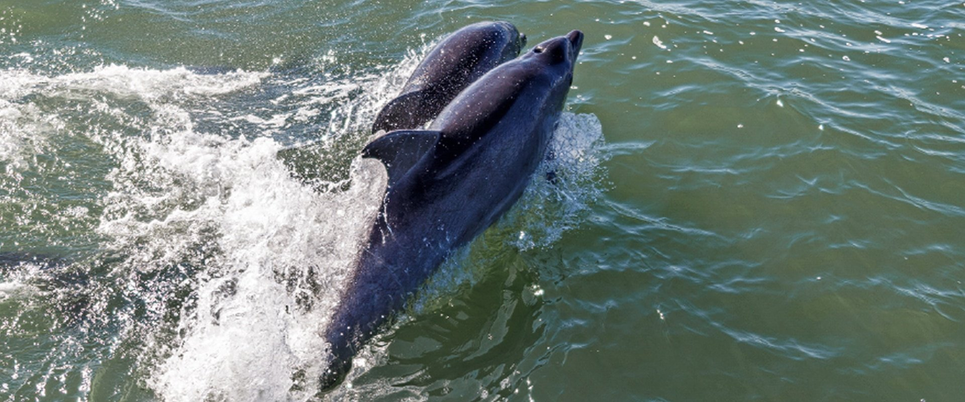 Glide alongside dolphins on a cruise