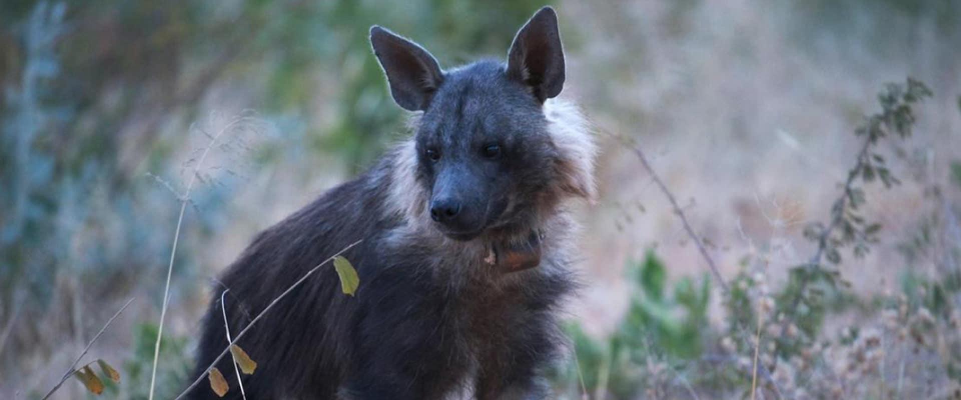 Track hyena on foot