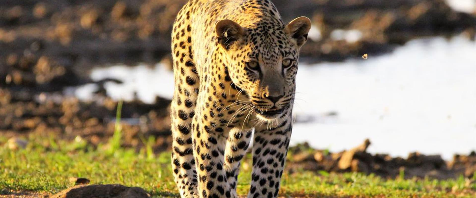 Track leopard