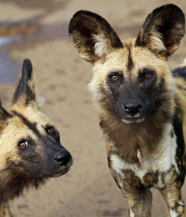 Meet The Wild Dogs Of Zimbabwe 2