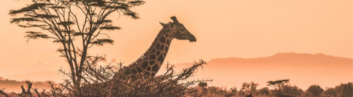 The magnificent African giraffe is now an endangered species