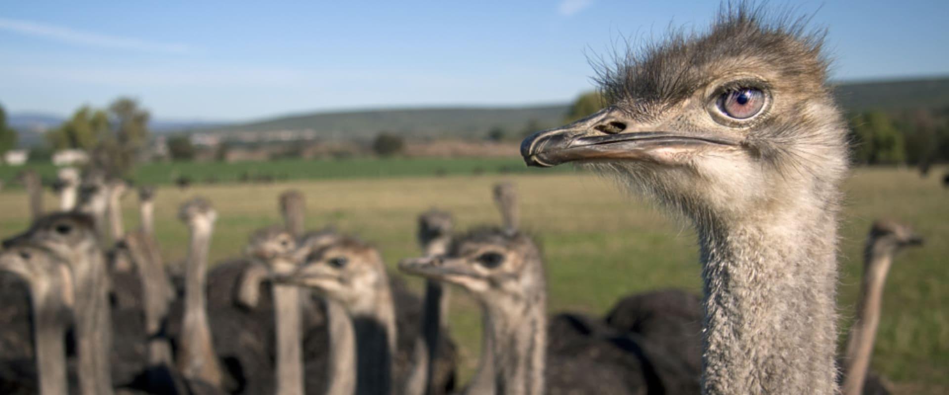 Visit Ostrich farm in Noordhoek
