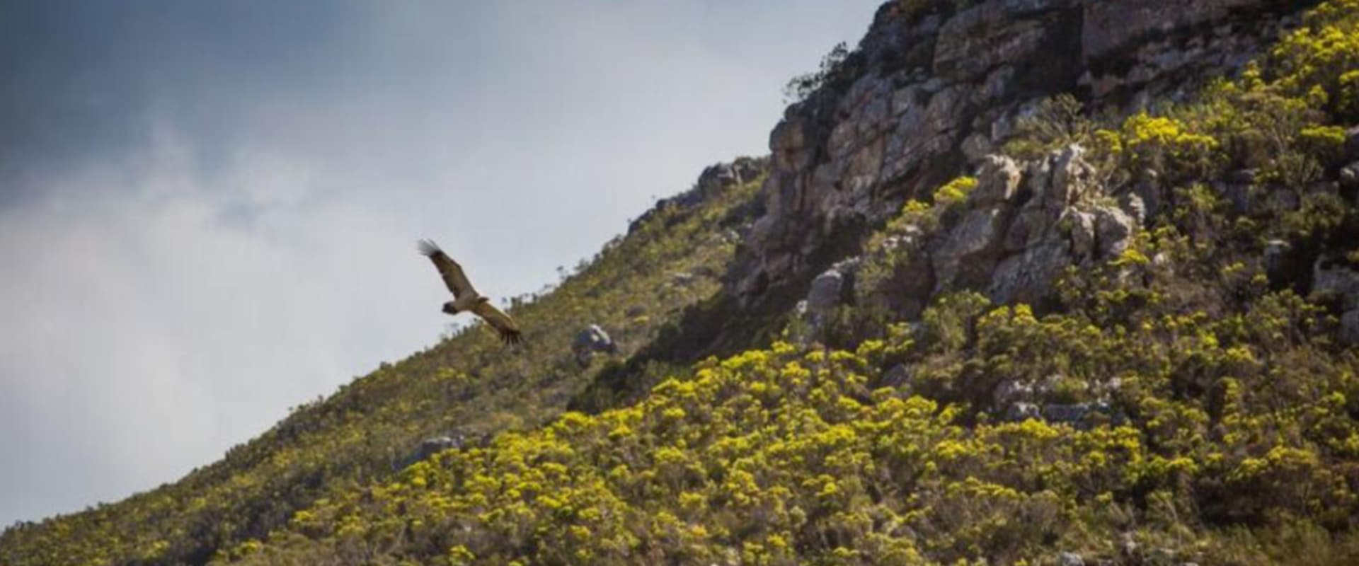 Get close to endangered Cape Vultures in flight