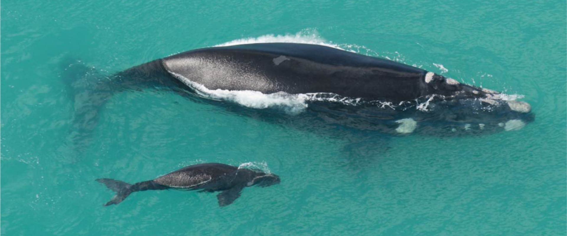 Witness giant whales breach, calve and blow from the land