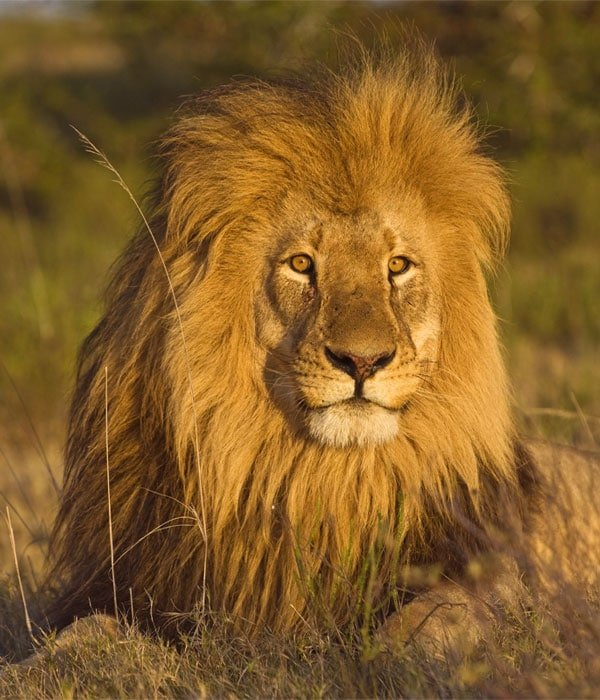 Lion basking in the sunlight in Ruaha National Park